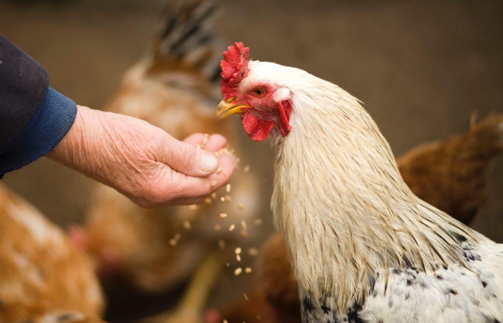 Ein Huhn pickt Körner aus der Hand eines alten Menschen